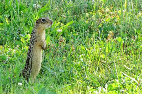 13_lined_ground_squirrel