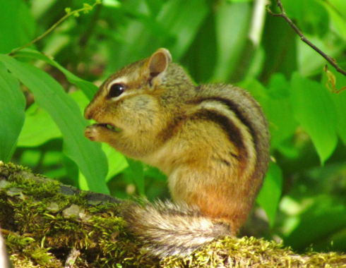 Tree Climbing Secrets Of Our Eastern Chipmunks Oakland
