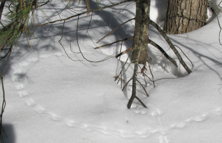 Mice leave tiny bounding tracks in the snow, even when they seem to run in circles.
