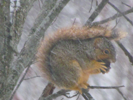 Fox squirrel dining on a black walnut in a snow storm in Brandon Township.)