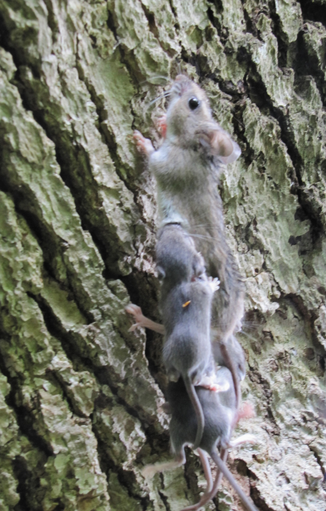 A mighty mouse scampers up a tree with her large babies hanging on.