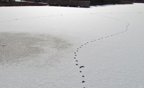 Coyote tracks across Upper Bushman Lake at Independence Oaks County Park.