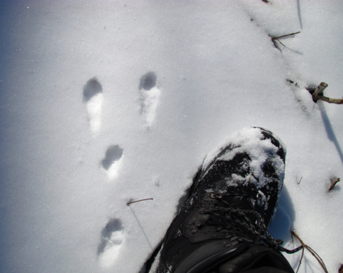The hind feet of rabbit land in front of the front feet when hopping and show the direction of travel.