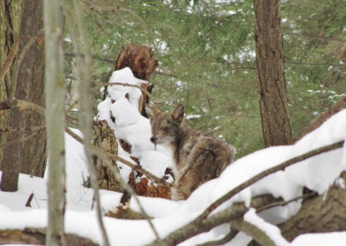The eastern coyote is seldom seen, but tracks tell the winter tale of its wandering.