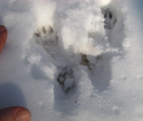 When a squirrel hops, the larger hind feet land in front of the smaller, side-by-side, front feet (unlike rabbits, where the front feet tracks are one in front of the other).