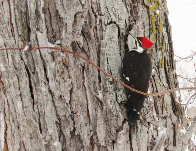 pileated-woodpecker-sbd