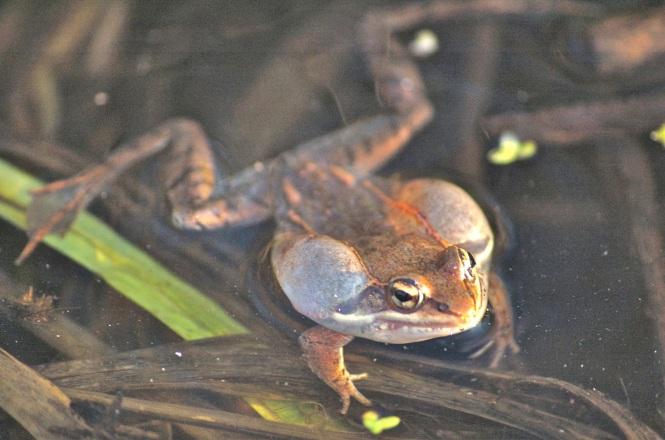 wood frog calling
