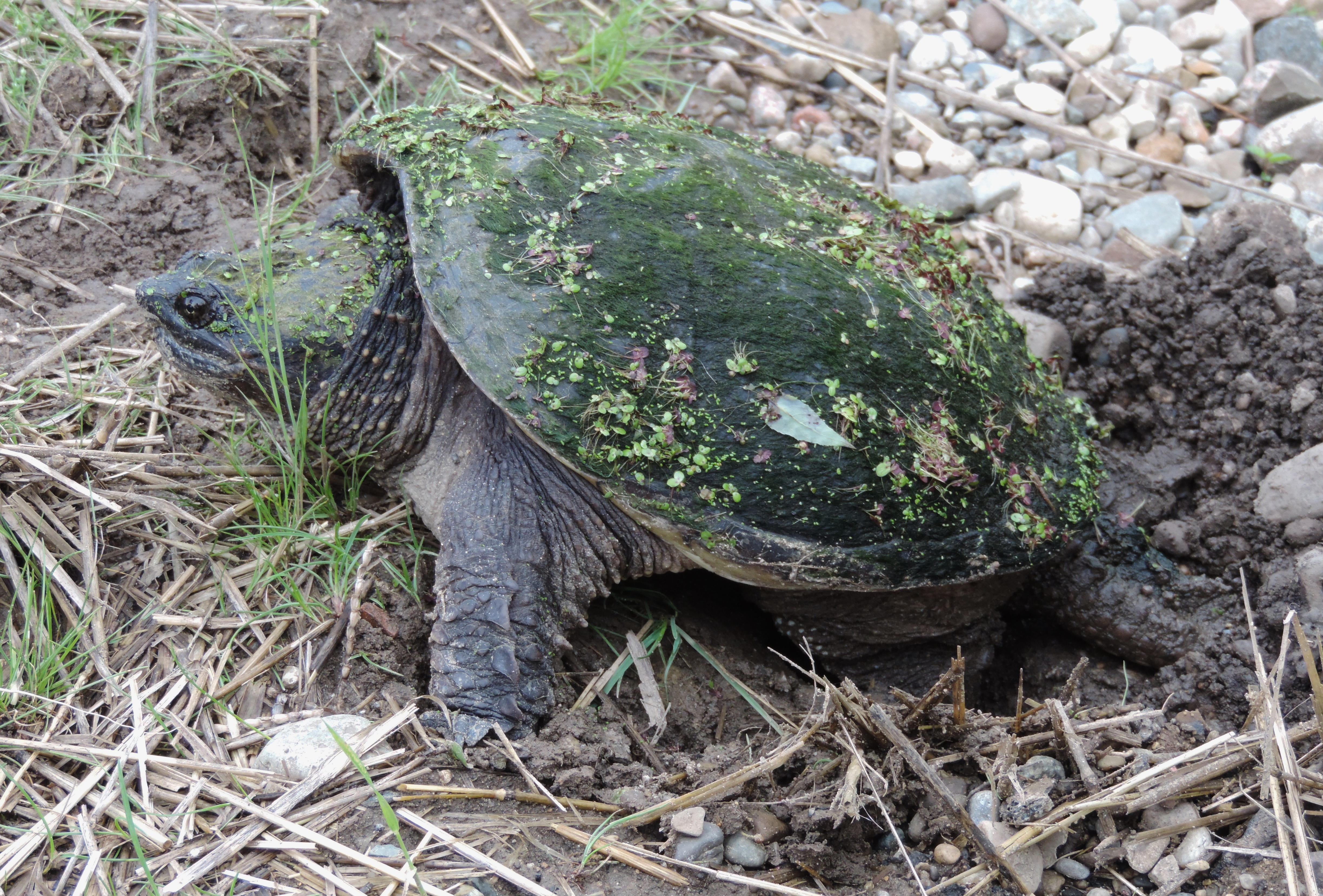 Snapping Turtles Don T Mess With Me It S Nesting Season