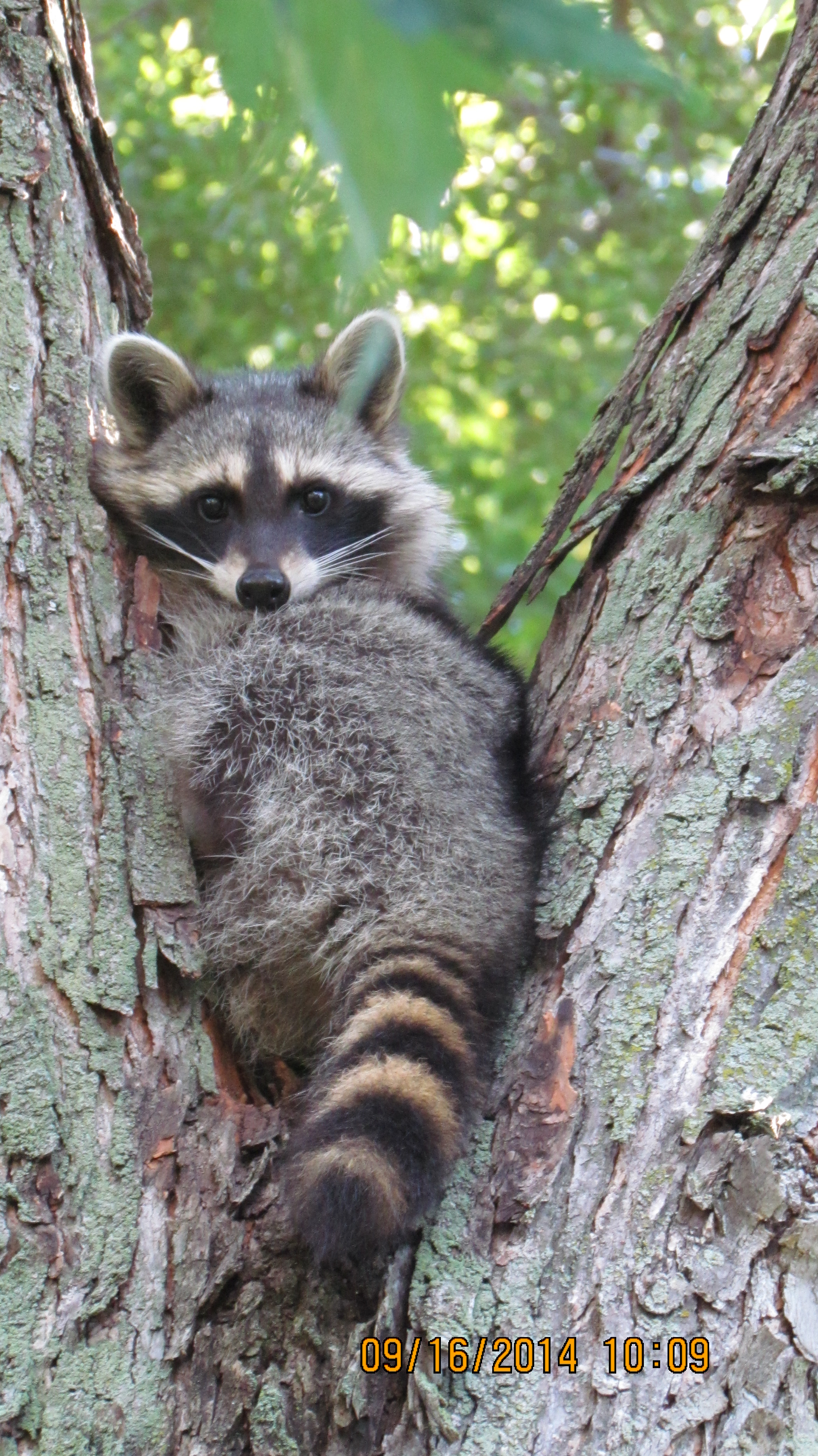 Raccoons masters of adaptation oakland county blog for Do raccoons eat fish