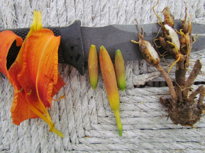 Petals, closed flower buds and tubers  of day lilies are culinary treats