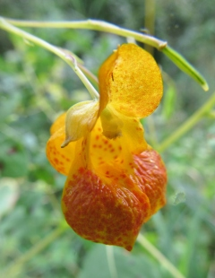 The inner sports of a Spotted Jewelweed.