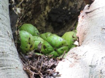 Shagbark Hickory nuts, a red squirrel delicacy!