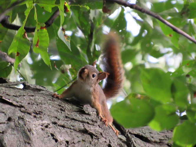 A red squirrel is on the offense to protect its nut cache.