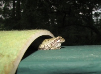 Staying still, this gray treefrog waits patiently for dinner.