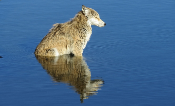 An exhausted and cold eastern coyote sits in the retention pond, perhaps reflecting on its fate.