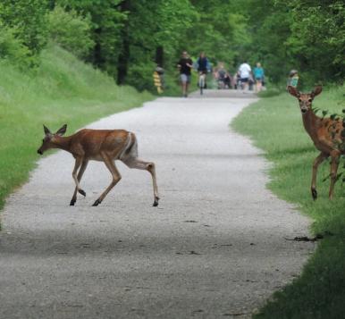 Deer running across the Paint Creek Trail.