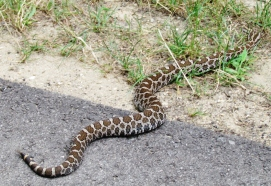 An Eastern Massasauga slithering out of the way.