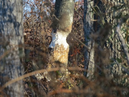 A beaver lays claim to a tree.