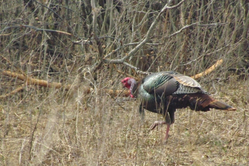 A Wild Turkey searching for food in the woods.