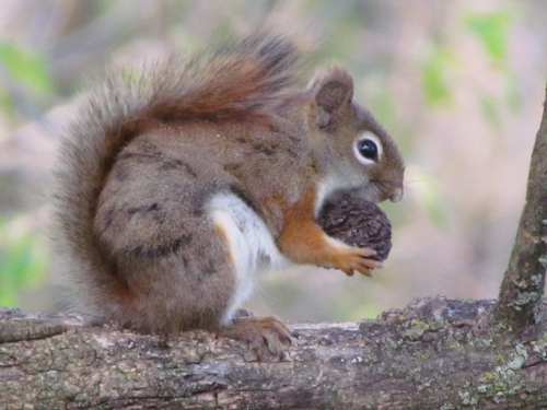 Squirrel gathering food for the winter months.