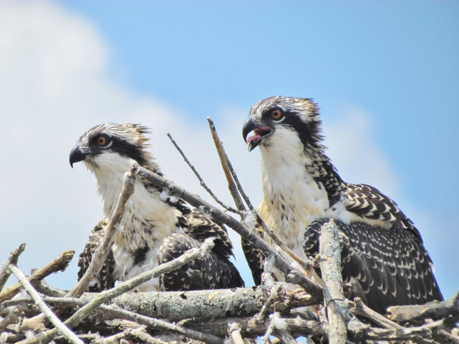 Osprey breed in Oakland County, but must wing south before lakes freeze.