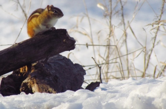The Eastern Chipmunk spends much of winter underground but often surfaces on sunny winter days.
