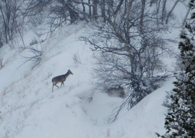 A doe climbing Empire Bluff.