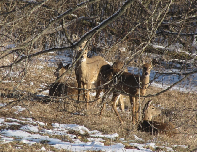 Winter herd resting in sunny oakland county meadow