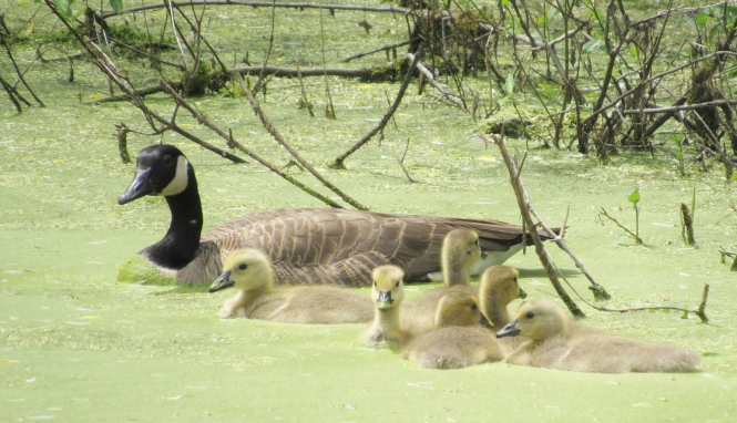 A small pond carpeted with duckweed is perfect natural feeding habitat for geese on the wilder side of Oakland County.