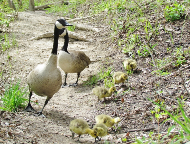 These goslings were raised away from the all too common green grass salad bar.