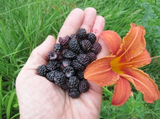 Black raspberries and Daylilies ripen and flower in early July