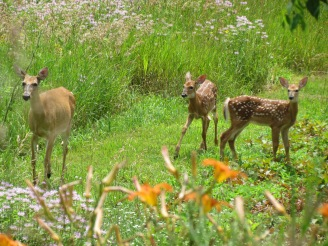 Rapidly growing fawns explore their world in northern Oakland County