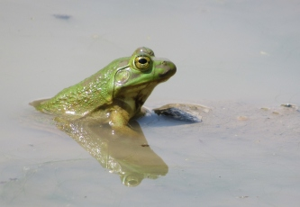 A young bullfrog waits to ambush bugs.