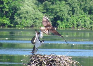 Kensington Metropark Osprey action at the nesting platform