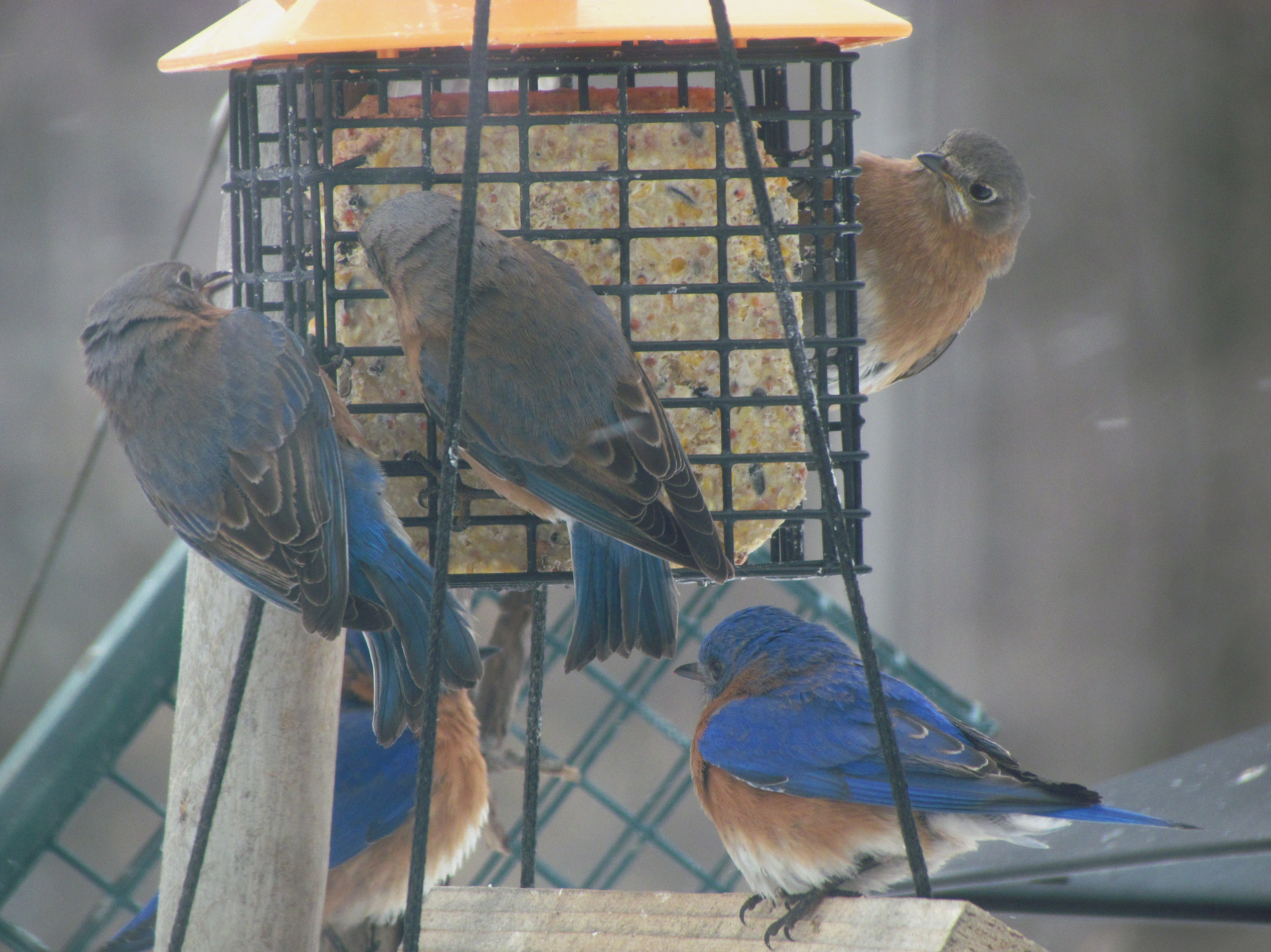 songbird feeder bluebird bird house blue copper window essentials mealworm feeders