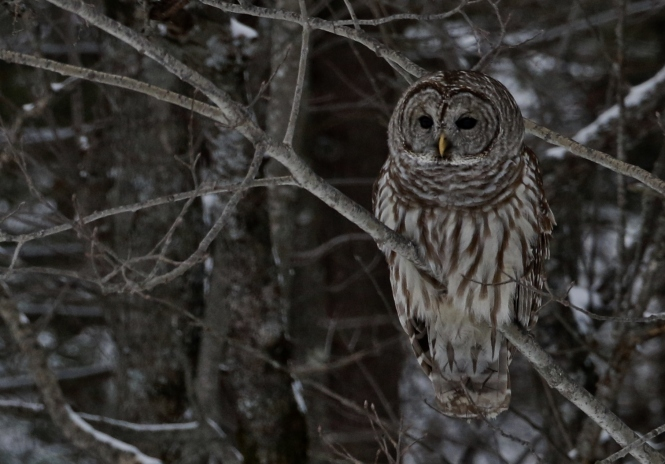 Barred Owl courtesy of Kara Allyn OPattison