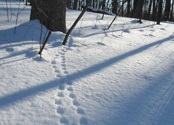 Red Squirrel: The evenly spaced and opposite placement of the paw prints indicate a squirrel bounding through the snow