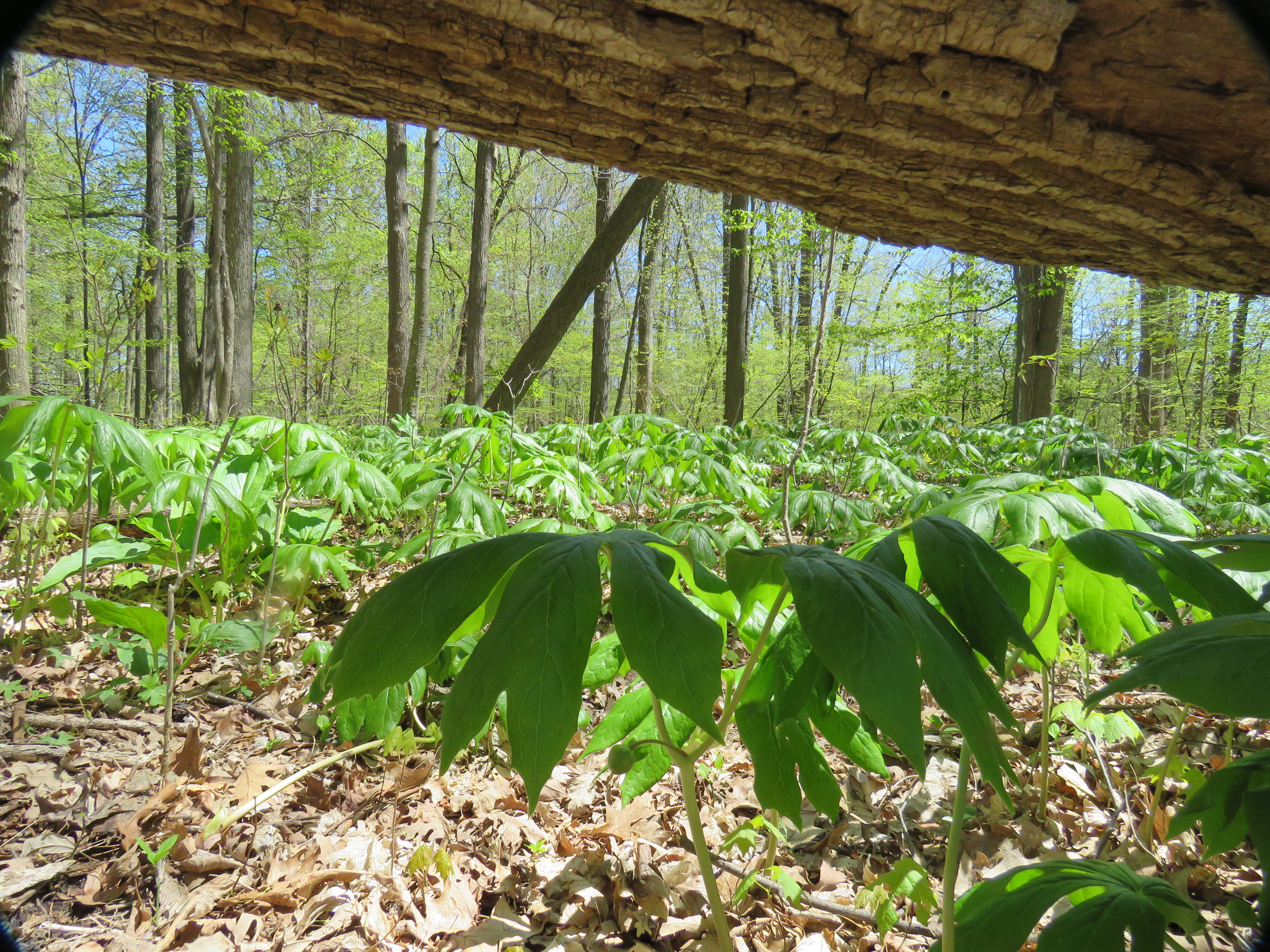 May S Woodland Wildflowers Make Way For June Oakland County Blog