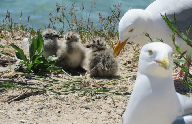 """Oakland County's Quintessential """"Seagull"""": The Herring Gull"""