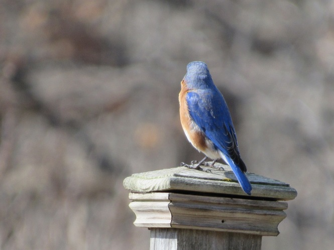 the female eastern bluebird draws less attention than the flamboyant look at me male with his royal blue back that prompted thoreau to also write
