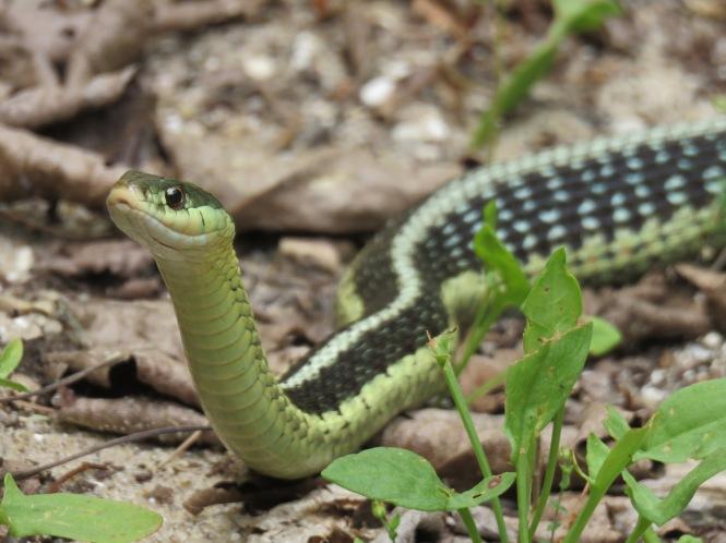 "The Eastern Garter Snake, a Common ""Garden"" Snake – Oakland County Blog"