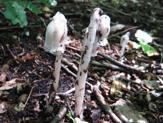 The Ghost Flower of Oakland County – Oakland County Blog