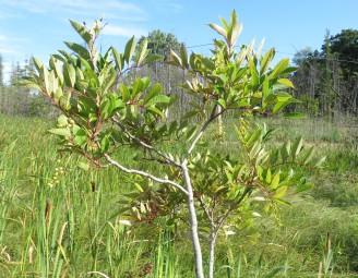 Poison Sumac bush