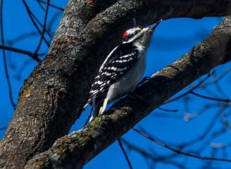Male Hairy Woodpecker - Photo Credit: Jeff Nedwick