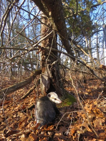 The Opossum: Our Marvelous Marsupial – Oakland County Blog