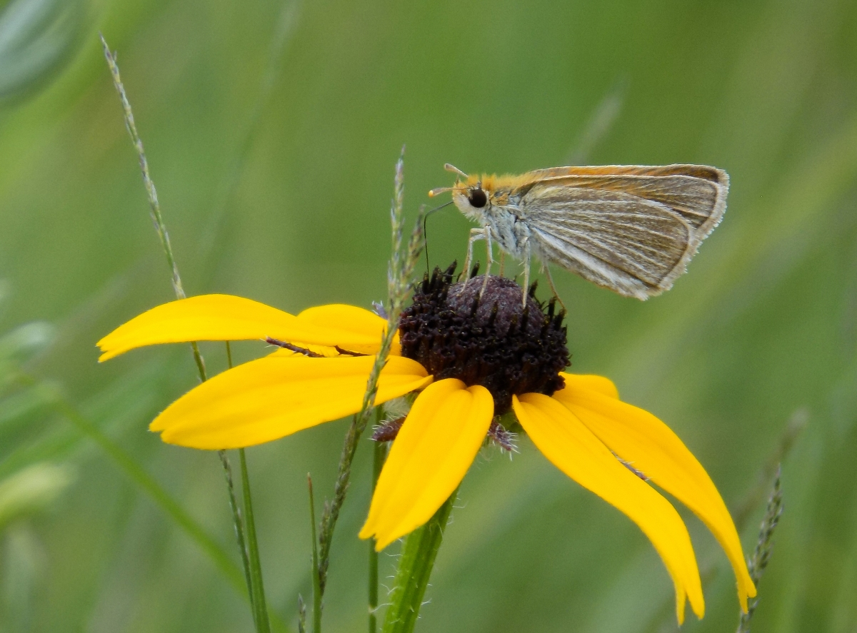 Michigan's Most Endangered Species – Oakland County Blog - photo#14