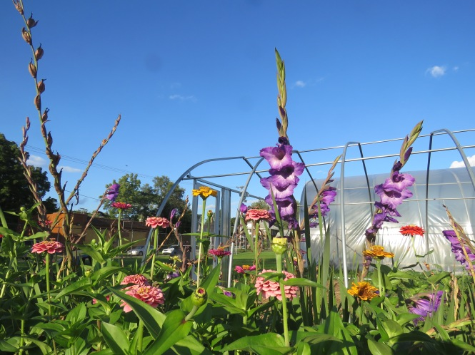 A photo taken from ground level shows purple gladiolus plants and pink, yellow, orange, and red zinnia plants in a community garden.