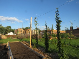 Green plants are strung up with wire in a community garden. Buildings can be seen in the background.