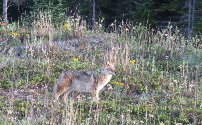 A coyote stands at attention on dune filled with weeds and wildflowers
