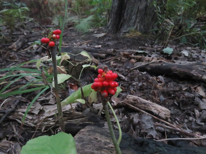 Bright red berries of a withered Jack-in-the-Pulpit on the floor of a wooded area. Decaying leaves, green ferns, and a tree are in the background.